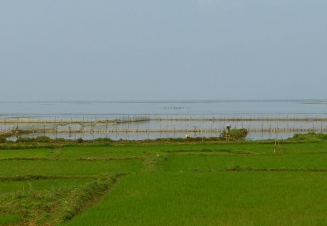Women working in the rice paddies