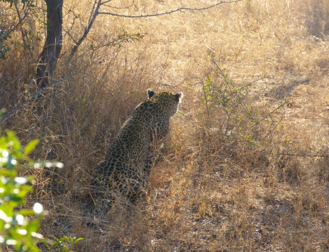 A leopard looking for breakfast