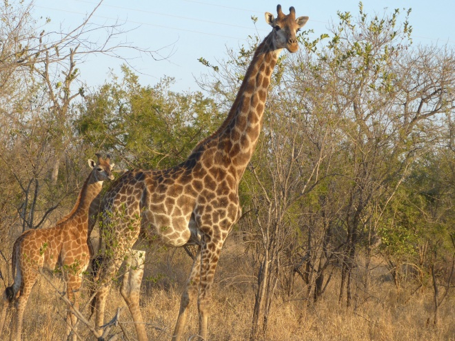 Do you know why a giraffe eats a few leaves from one tree, then moves to another, then another?