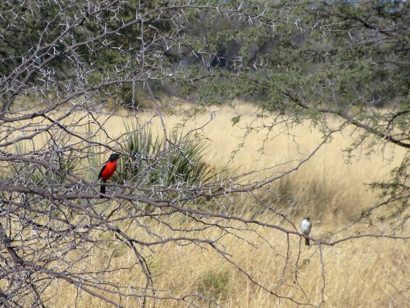 Red breasted beautiful bird.  (My own terminology)