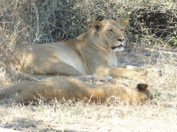 Lion in Chobe