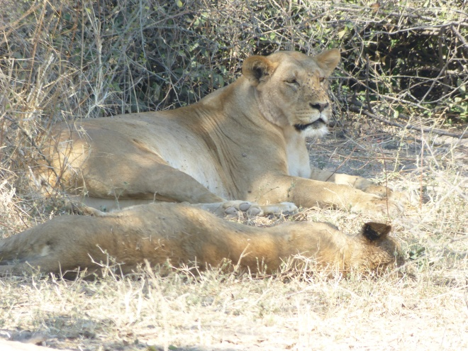 Lion in Chobe