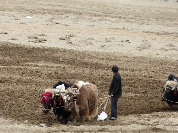 Farmers, plowing with their yaks